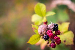 Blackberries  Credit: Michal Vrba